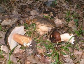 Funghi porcini dei Nebrodi